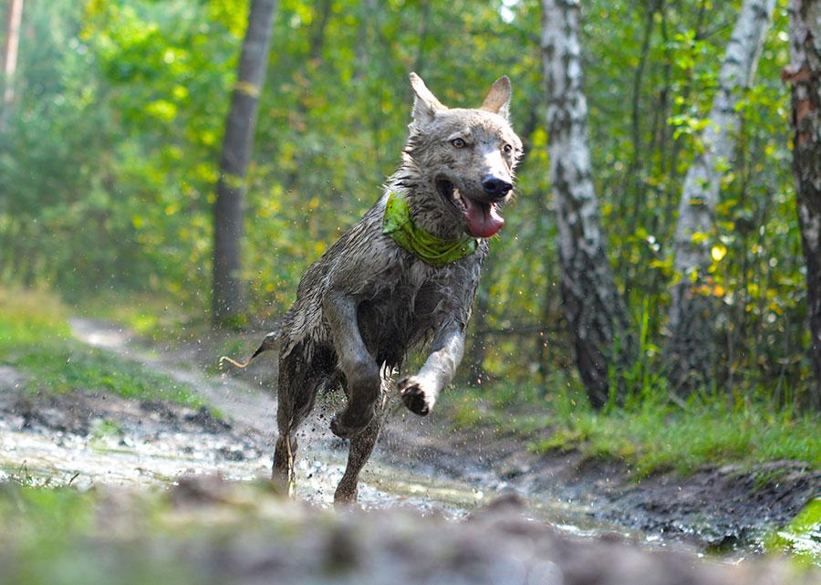 как подготовить собаку к забегу на 100 километров