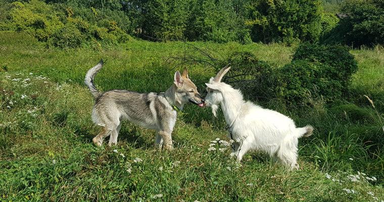 Любовь зла – полюбишь и козла.