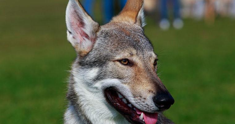 Стоит ли покупать Чехословацкого влчака?!