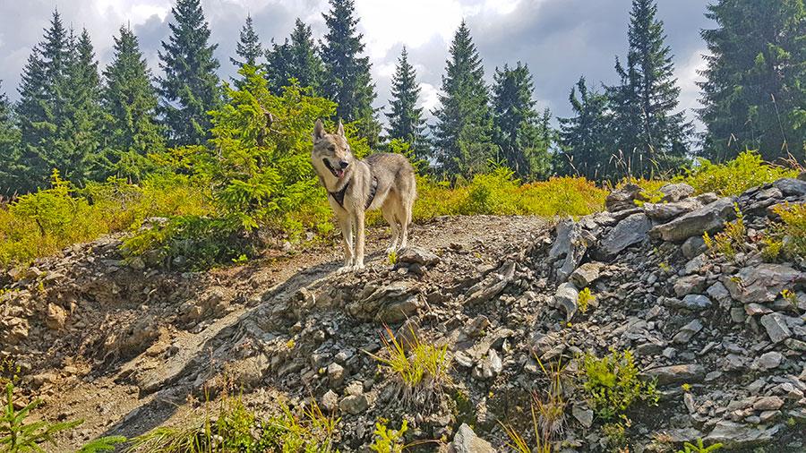 чехословацкий влчак в румынии