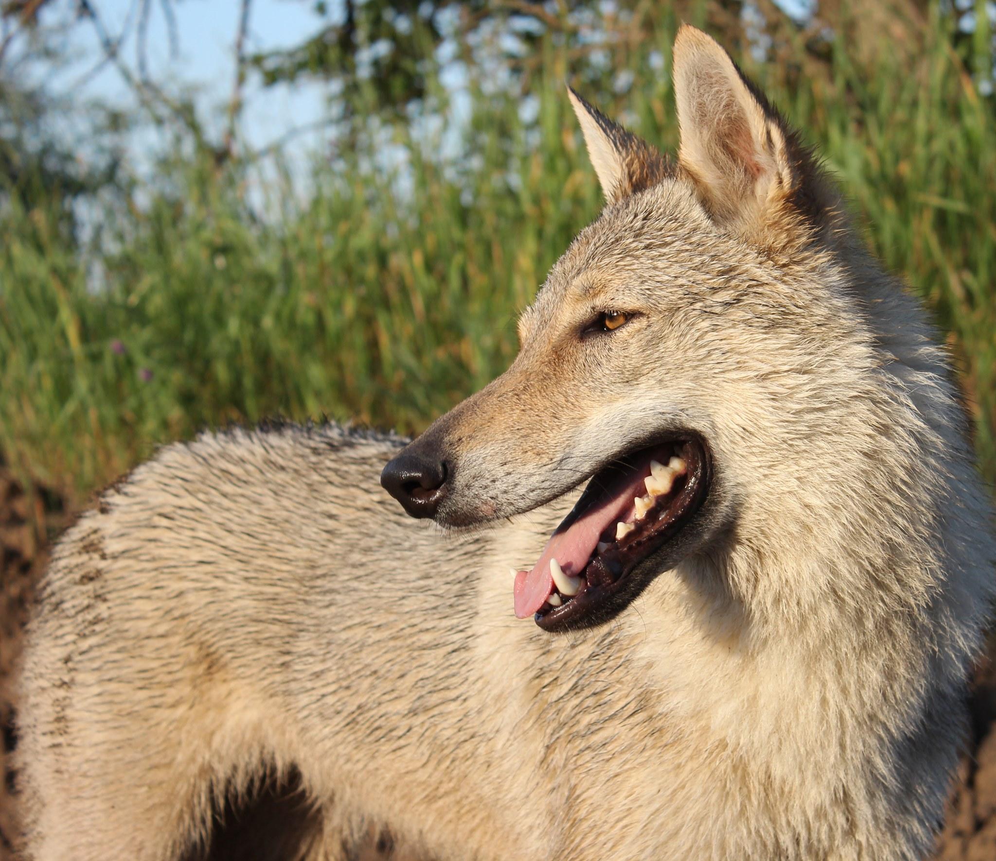 Щенки породы Чехословацкий влчак
