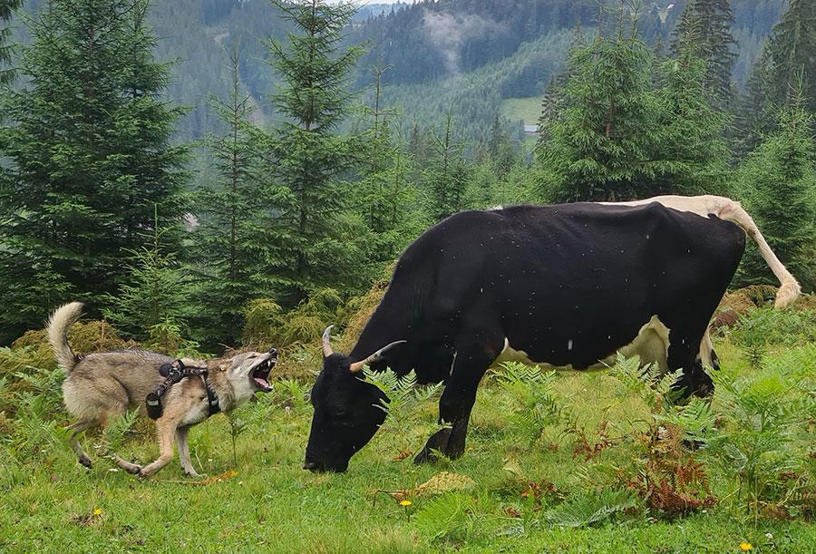 Корова и волк