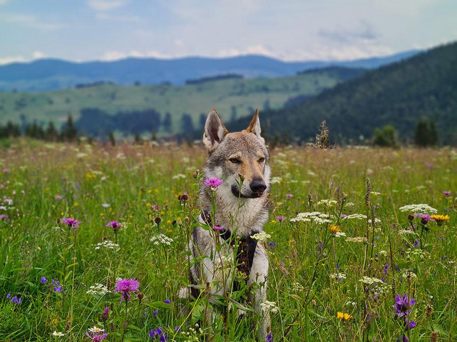 Собака в луговых цветах