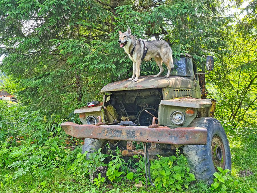 собака на грузовике