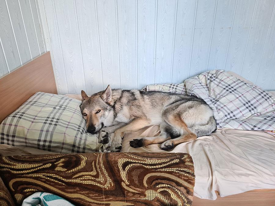 Уставший волк