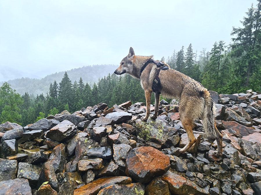 volk na kamne