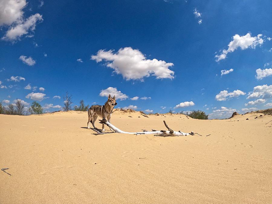 Собака в пустыне