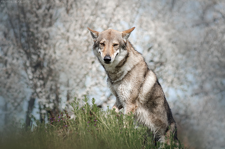 Рыгающий волк