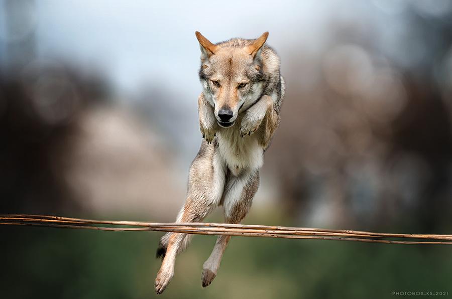 Летающий волк