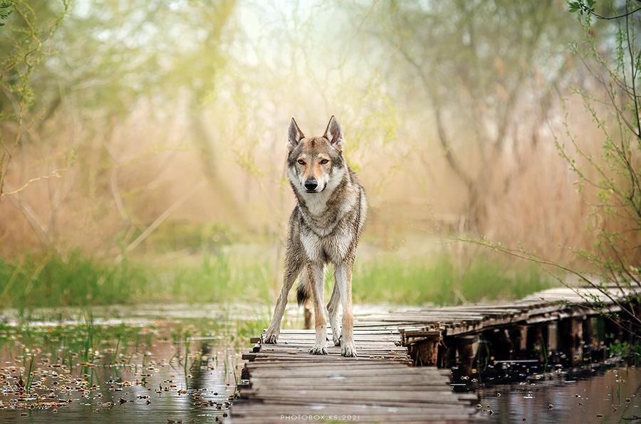 volk na bolote