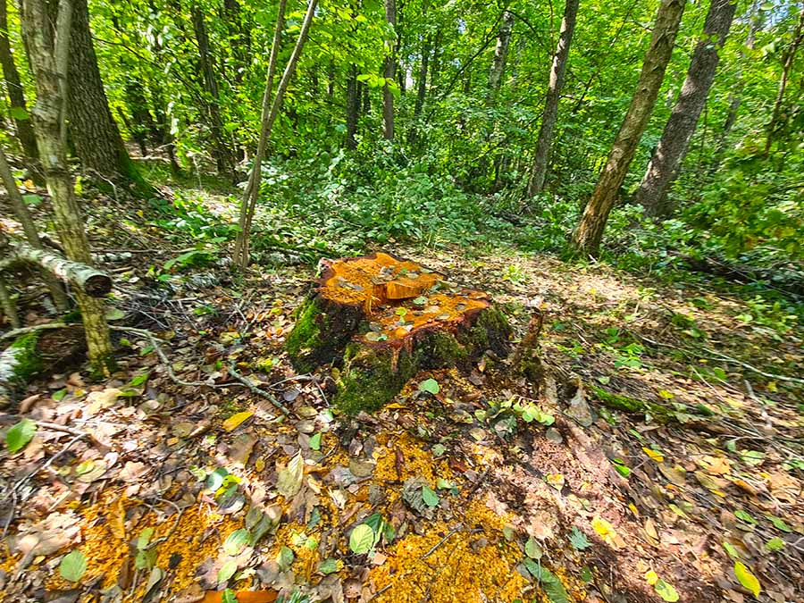 незаконная вырубка леса в Региональном ландшафтном парке Малёванка